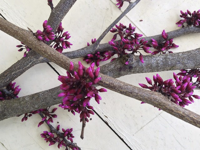 redbud branches III