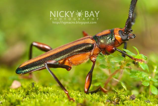 Longhorn Beetle (Xystrocera festiva) - DSC_8265