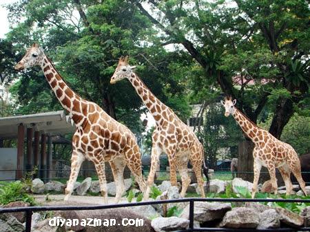 http://www.diyanazman.com/blogs/wp-content/uploads/2010/04/giraffe.JPG