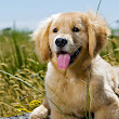 Golden Dog in Golden Field | Dog Pictures Photography