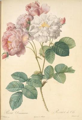 Rosa Damascena 'Celestiana'