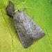 Vine's Rustic (Hoplodrina ambigua)