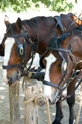 Horses in WIlliamsburg