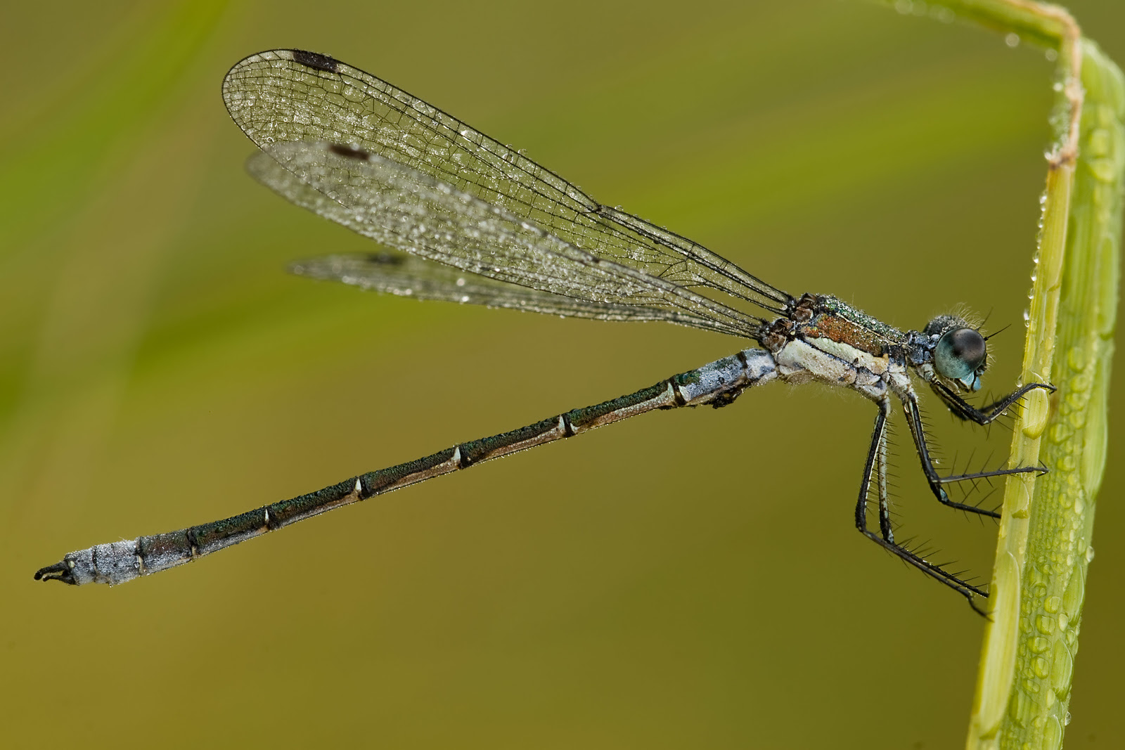 Macro photograph of Spread-wing Damselfly on Vancouver Island