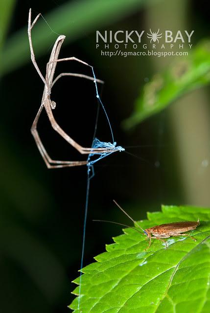 Net-casting Spider (Deinopis sp.) - DSC_4513