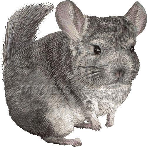 チンチラ鼠ネズミのイラスト条件付フリー素材集