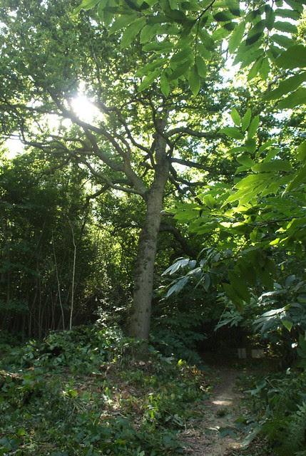 DSC_7012 oak tree
