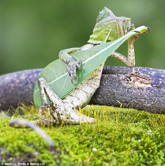 Is he playing Thin Lizard? Tiny reptile caught on camera seemingly strumming a leaf