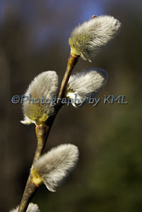 soft pussy willow buds int he spring