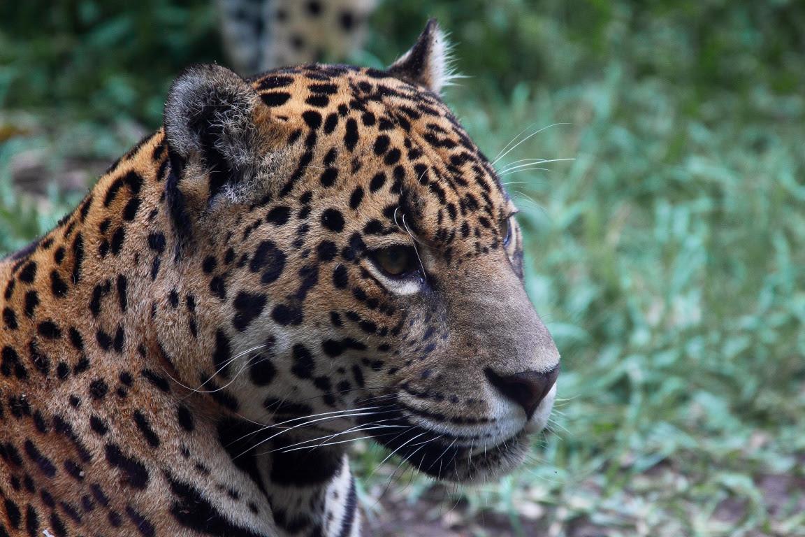Onça-pintada resgatada pelo Ibama no Amazonas: mães são abatidas por caçadores, mas filhotes muitas vezes são capturados e criados em cativeiro. Foto: Daniel Garcia Neto