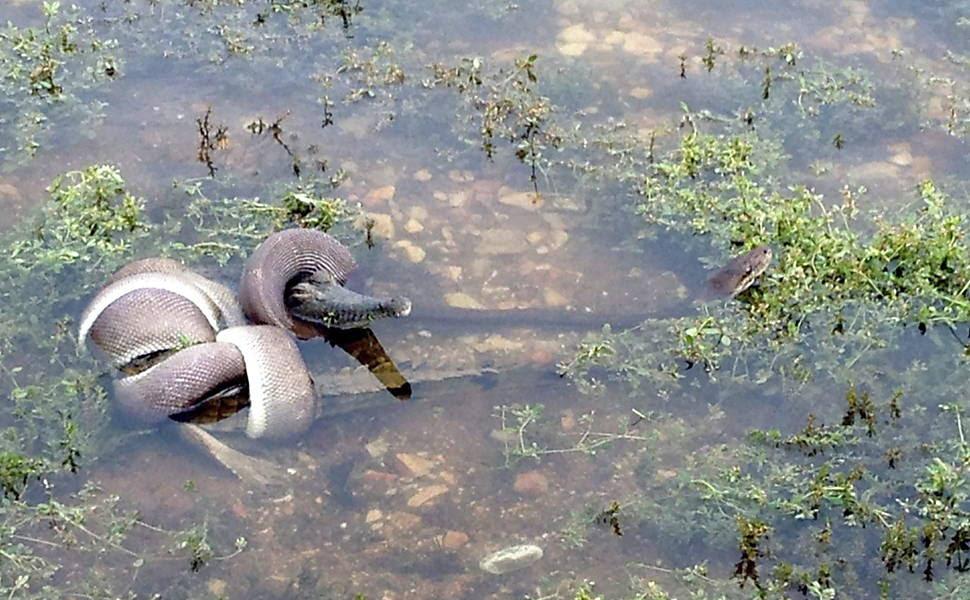 Após intensa luta, a cobra consegue se enrolar e estrangular um crocodilo