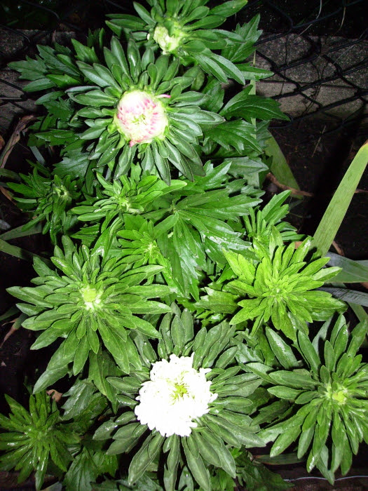 2006-08-16_aster_3