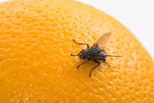 How To Eliminate Fruit Flies