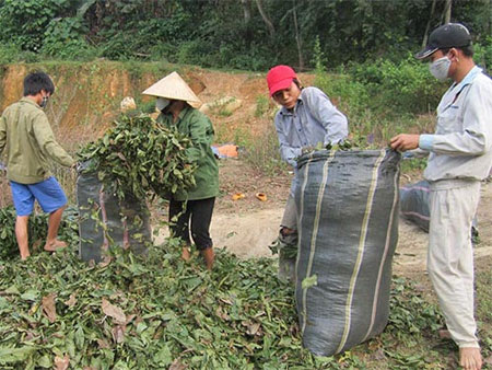 Một điểm thu gom lá cò ke bán cho các thương lái ở xã Chi Khê, huyện Con Cuông, tỉnh Nghệ An