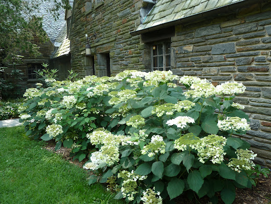 My names not Annabelle, its Haas Halo Hydrangea!