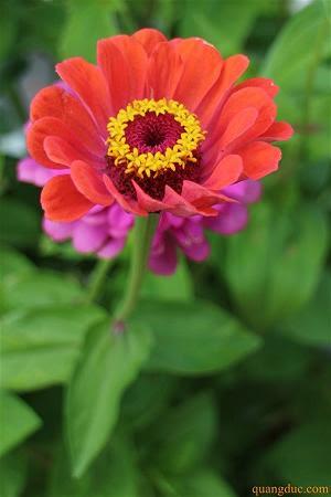 Hoa cuc quang duc (5)