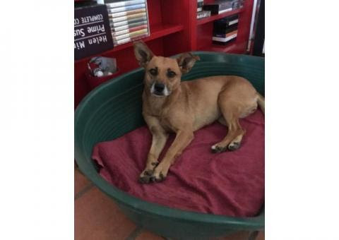 Found small brown dog Malmesbury - Lost Dogs in South Africa