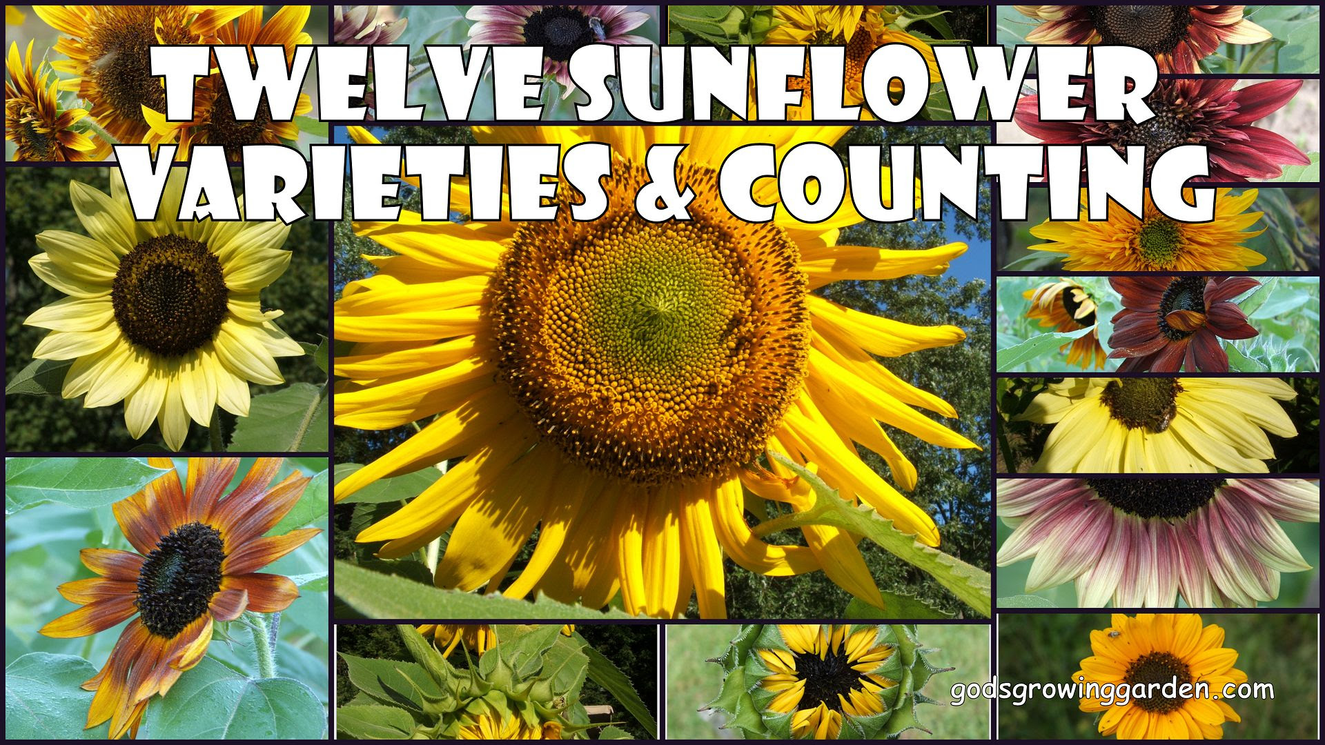 12 Sunflowers by Angie Ouellette-Tower for godsgrowinggarden.com photo 2012-09-06_zps5a51cf4c.jpg