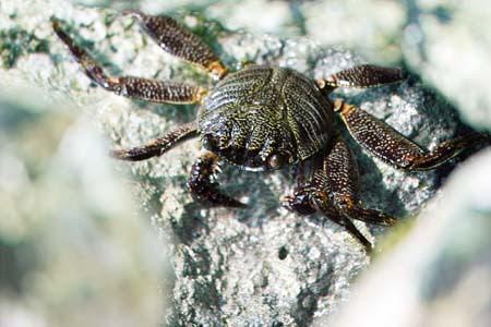 rock_crab.jpg