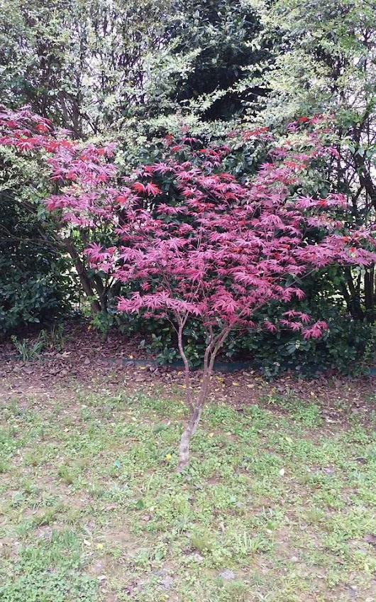 Japanese Maple Trees (Red and Green) ready to plant ( Home & Garden ) in Searcy, AR - OfferUp