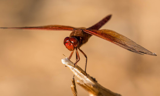 Dragonfly inspires predictive vision for driverless cars