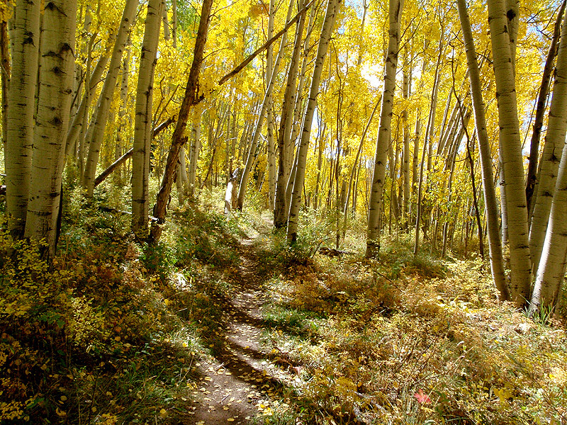 Yellow leafed trail, Crested Butte, Colorado