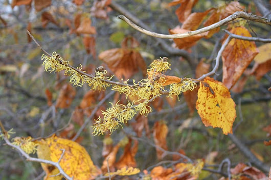 Where can I buy witch-hazel? - Garden Making -