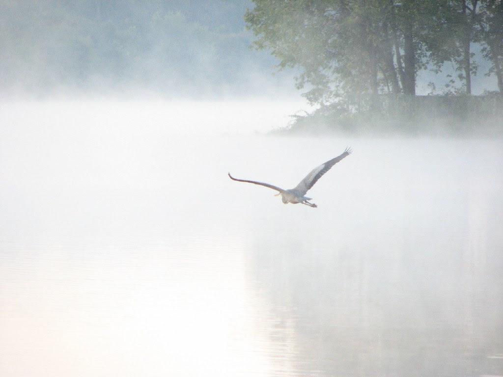 Great Blue Heron in flight over Lake Carnegie