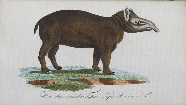 coloured engraving of Tapir
