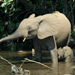 Two-Thirds of Africa's Forest Elephants Were Poached in the Last Decade