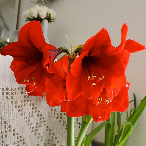Red Amaryllis 1