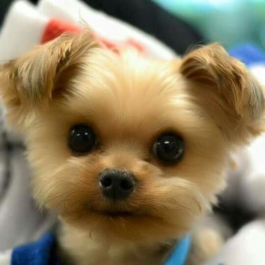 Teacup Teddy Bear Puppies For Sale In Manitoba Canada
