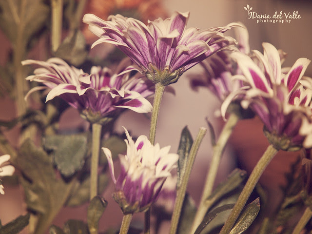purple_daisys_actioned2