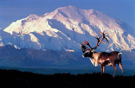 Alaska--I'd love to see this and love to take him down to mount on my wall :) hehe