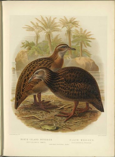 North Island + Black Woodhens (Ocydromus spp.)