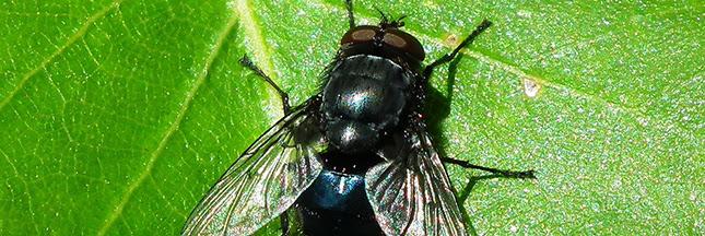 le blog pour mes copines quelques trucs pour chasser les mouches naturellement. Black Bedroom Furniture Sets. Home Design Ideas