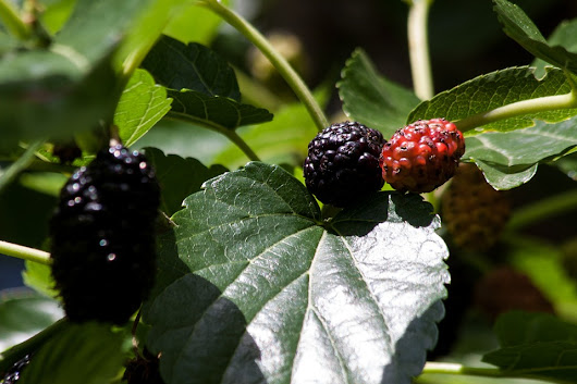 Support Healthy Blood Sugar Levels with Mulberry Extract - Vitamins and Their Uses