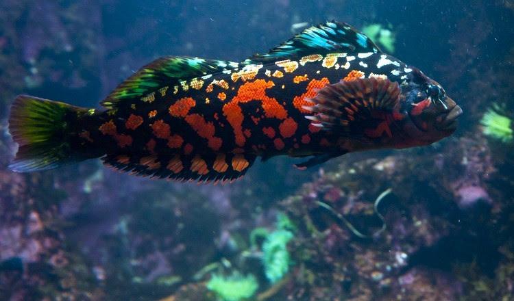 Рыба с диковинным названием красный терпуг. На вид ничем особо не примечательна… животные, интересное, удивительное, фото