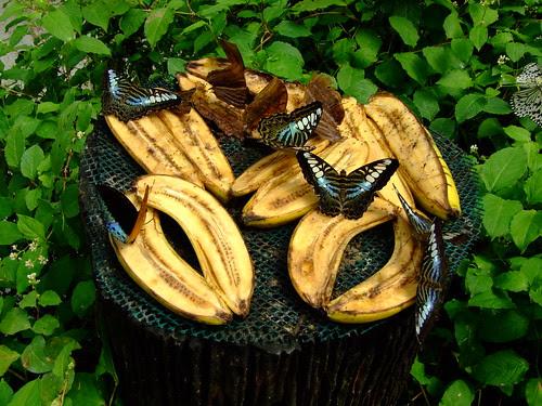 Butterflies eating bananas