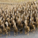 geese-police-guards-china_69730_600x450