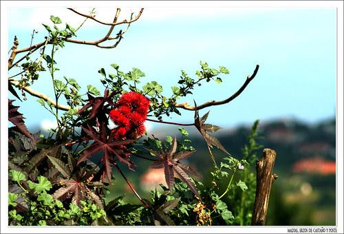 erizos de castaño rojos