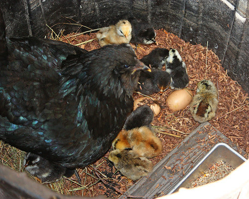 Mother hen and her chicks