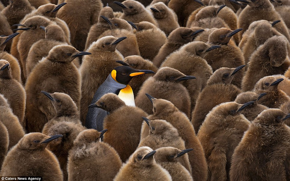 Odd one out: A lone adult is surrounded by chicks, still showing their brown downy feathers
