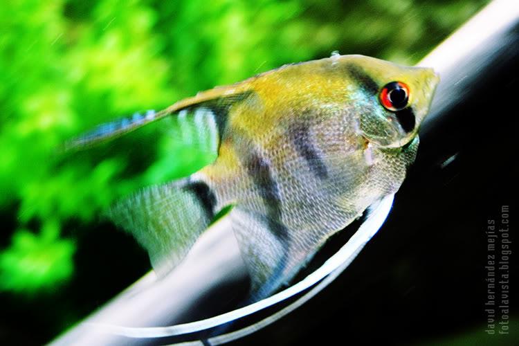 Un pez se desliza veloz por el agua en el acuario de O Grove, Pontevedra, Galicia