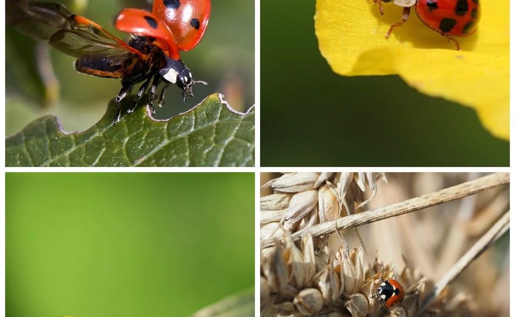 Ms. Brown's Grade 2 Blog: Thinglink Interactive Ladybug ...