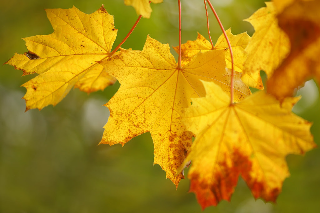 Autumn Maple Leaves
