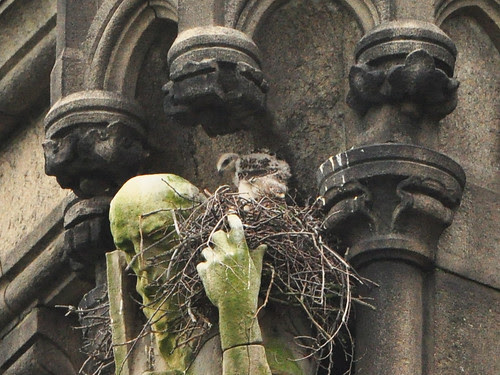 Cathedral Red-Tail Nestling