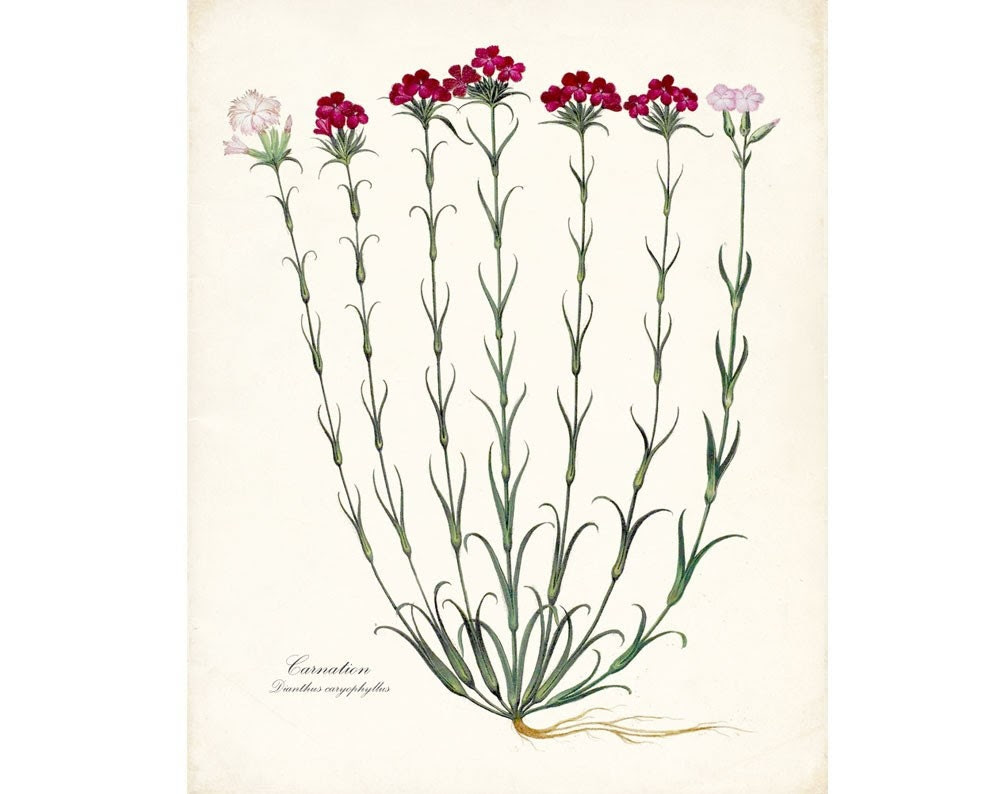 Antique French Flower-Carnation No. 1