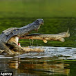 I want my dinner, and make it snappy! Unlucky fish jumps straight into the mouth of hungry alligator