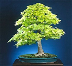"<font size=""4"" color=""0000ff"">Full Moon Maple</font><br/><font size=""4"" color=""40800""><i>Acer japonicum</i></font><br><font size=""1"">Trained from a young container-grown seedling since 1975</font>"